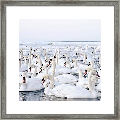 Massive Amount Of Swans In Winter Framed Print by Mait Juriado photo