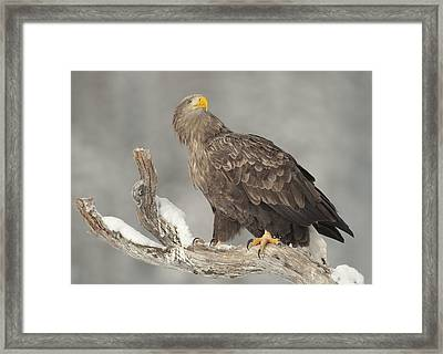 Master And Commander  - White-tailed Eagle Framed Print by Andy Astbury