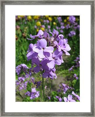 Matthiola Bicornis. Night-scented Stock.2 Framed Print by Ausra Huntington nee Paulauskaite