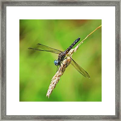 Framed Print featuring the photograph Meadowhawk by Rodney Campbell