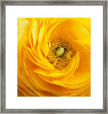 Mellow Yellow Framed Print by Kathy Yates