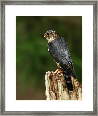 Merlin Look Out Framed Print by Inspired Nature Photography Fine Art Photography