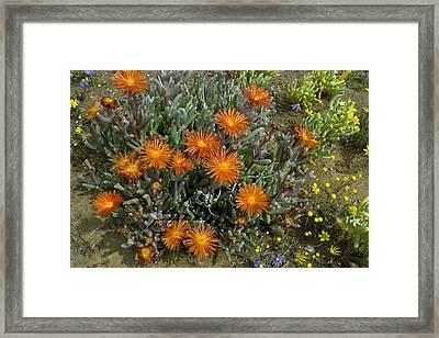 Mesemb (malephora Purpurea-crocea) Framed Print by Bob Gibbons