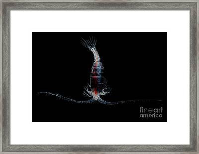 Mesopelagic Copepod Framed Print by Dant� Fenolio