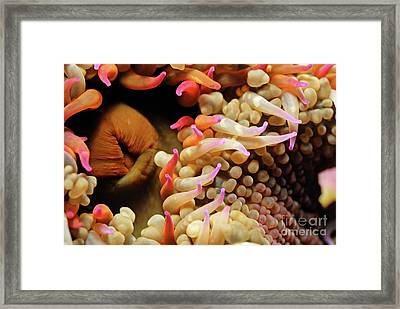 Mexican Anemone Framed Print by Sami Sarkis