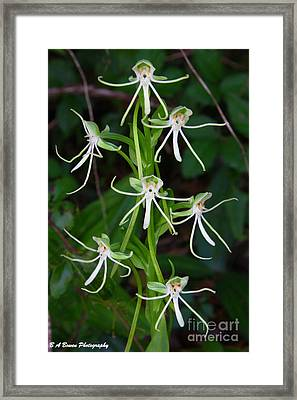 Michaux Orchid Framed Print by Barbara Bowen