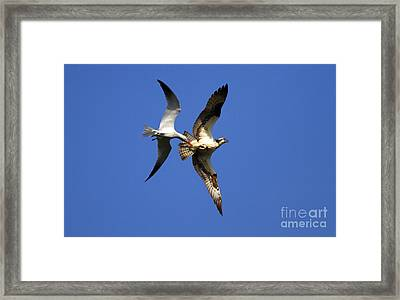 Mid-air Attack Framed Print by Mike  Dawson