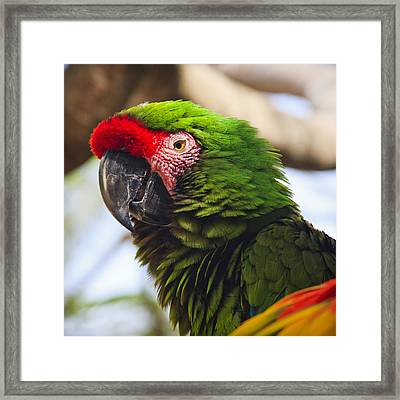 Military Macaw Parrot Framed Print by Adam Romanowicz