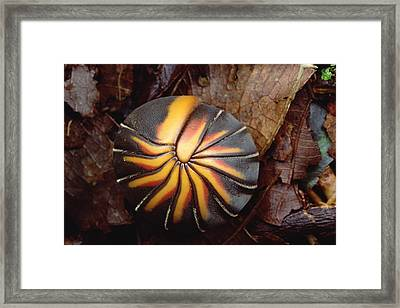 Millipede Rolled Into Ball Position Framed Print by Mark Moffett