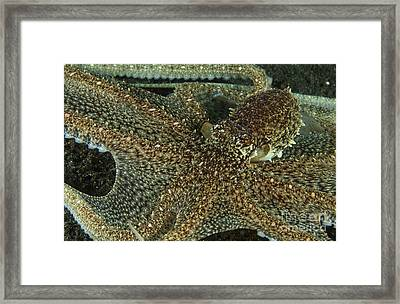 Mimic Octopus With Arms Spread Out Framed Print by Mathieu Meur