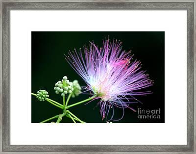 Mimosa Flower Framed Print by Heinz G Mielke