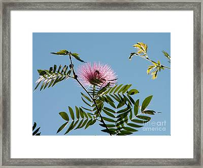 Mimosa Flower  Framed Print by Theresa Willingham