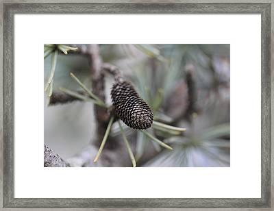 Miniature Pine Cone  Framed Print by Douglas Barnard