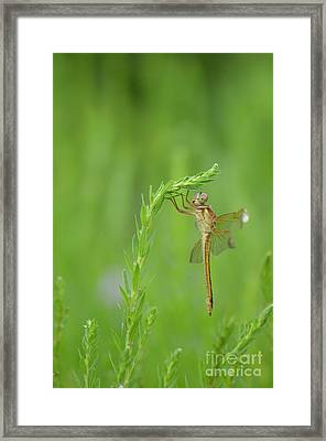 Miss Dragonfly Framed Print by Kathy Gibbons