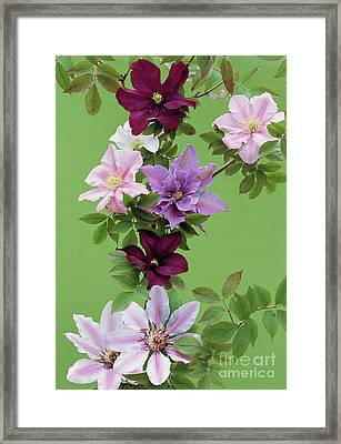 Mixed Clematis Flowers Framed Print by Archie Young