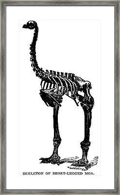Moa Skeleton Framed Print by Granger