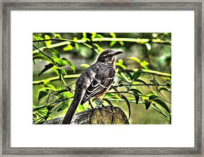 Mocking Bird Picture 2 Framed Print by Ester  Rogers