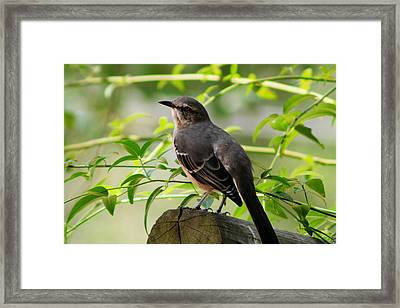 Mocking Bird Picture 3 Framed Print by Ester  Rogers