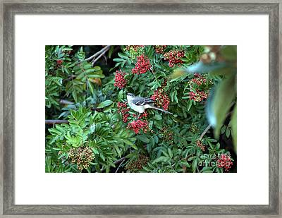 Mocking Bird Framed Print by Virginia Hagerty
