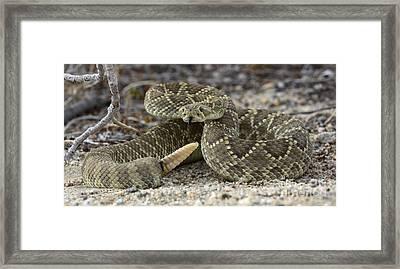 Mojave Green Rattlesnake  Framed Print by Bob Christopher