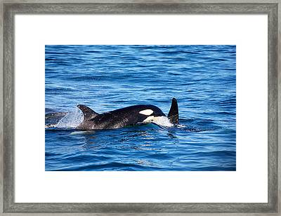 Mom And Baby Killer Whale Framed Print by Ivan SABO