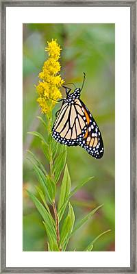 Monarch And Goldenrod  Framed Print by Michael Peychich