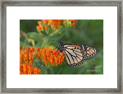 Monarch Butterfly Feeding On Milkweed Framed Print by Kenneth M Highfill