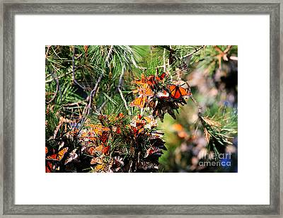 Monarch Butterfly Gathering Framed Print by Tap  On Photo