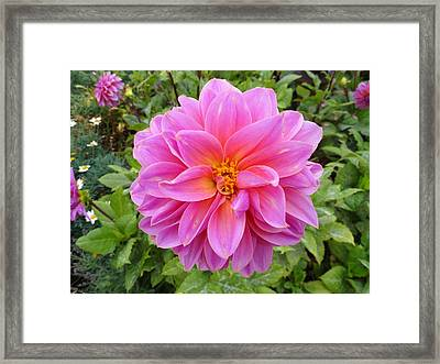 Monterey Pink Framed Print by Robert Meyers-Lussier