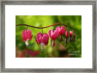 Month Of May Bleeding Hearts Framed Print by Steve Augustin