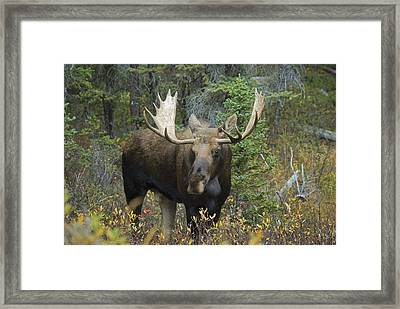 Moose Alces Alces In The Forest Alberta Framed Print by Philippe Widling