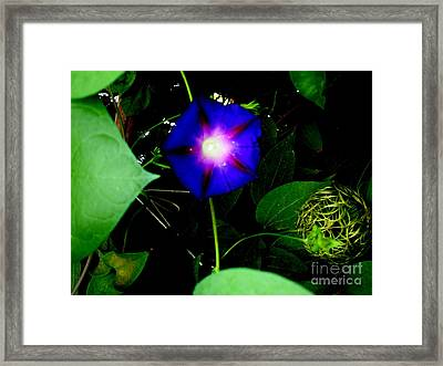 Morning Glory Glory Framed Print by Marilyn Magee