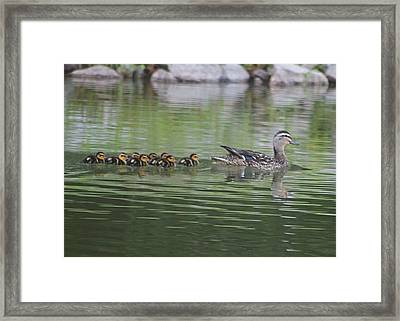 Mother Mallard And Ducklings Framed Print by Jeanne Kay Juhos