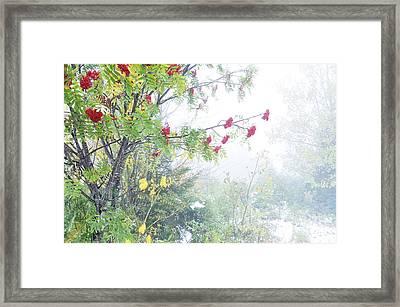 Mountain Ash Fog And Snow Framed Print by Thomas R Fletcher