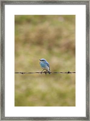 Mountain Bluebird On A Fence Wire Framed Print by Philippe Widling