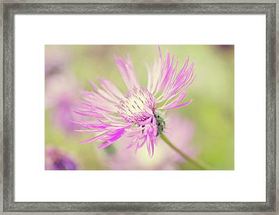 Mountain Cornflower Pink Framed Print by Leentje photography by Helaine Weide