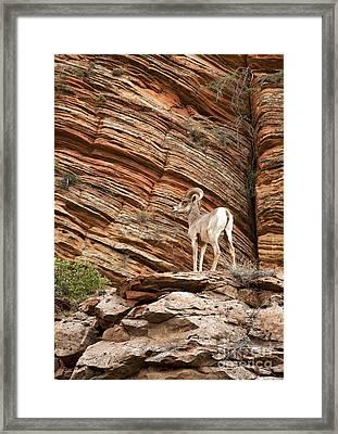 Mountain Goat Framed Print by Jane Rix