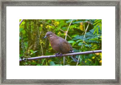 Mourning Dove Cooling Out Framed Print by David Alexander