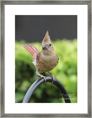 Mrs Cardinal Framed Print by Carol Groenen