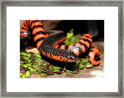 Mud Snake Framed Print by Griffin Harris