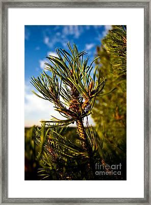 Mugo Pine Branch Framed Print by Terry Elniski