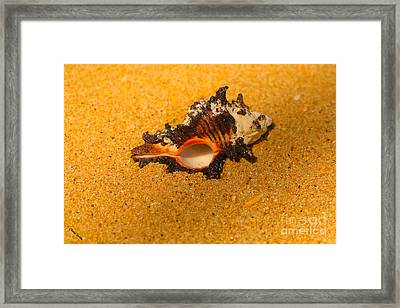 Murex Shell Framed Print by Cheryl Young