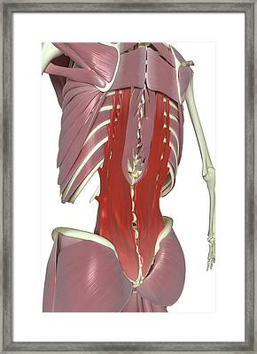 Muscles Of The Back Framed Print by MedicalRF.com