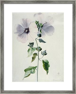Musk Mallow Framed Print by Marie-Anne