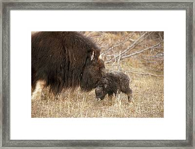 Musk Ox Cow And New Calf Framed Print by Joseph Rychetnik