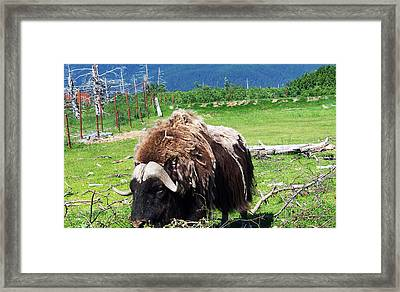 Musk Oxen Framed Print by Aimee L Maher Photography and Art Visit ALMGallerydotcom