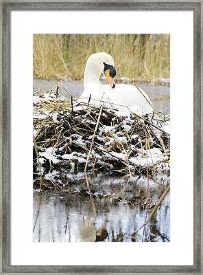 Mute Swan Sitting On A Nest In The Snow Framed Print by Duncan Shaw