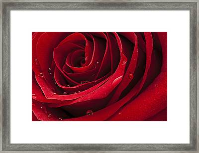 My Rose Framed Print by Ivan Vukelic