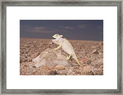 Namaqua Chameleon Chamaeleo Namaquensis Framed Print by Michael & Patricia Fogden