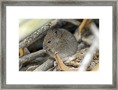 Namaqua Rock Mouse Framed Print by Peter Chadwick